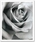 《アートフレーム》Steven N.Meyers Rose(スティーブン・マイヤーズ バラ)
