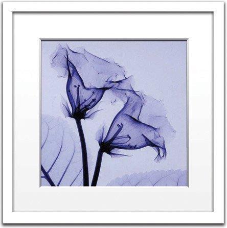 《X-Ray レントゲンフォト》Steven N.Meyers Gloxinia(small)(スティーブン・マイヤーズ グロキシニア)