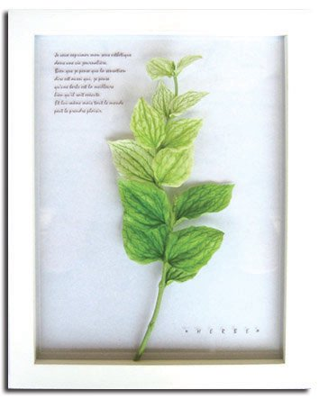 《ハーブ アートフレーム》Herbe frame Salvia taraxacifolia(サルビア・タラクサシフォリア)