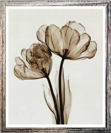 《X-Ray レントゲンフォト》Parrot Tulips II(small)(スティーブン・マイヤーズ パーロットチューリップ2)