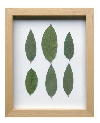 《プラントフレーム》PLANTE Frame Velvet leaf(ベルベットリーフ)(ゆうパケット)