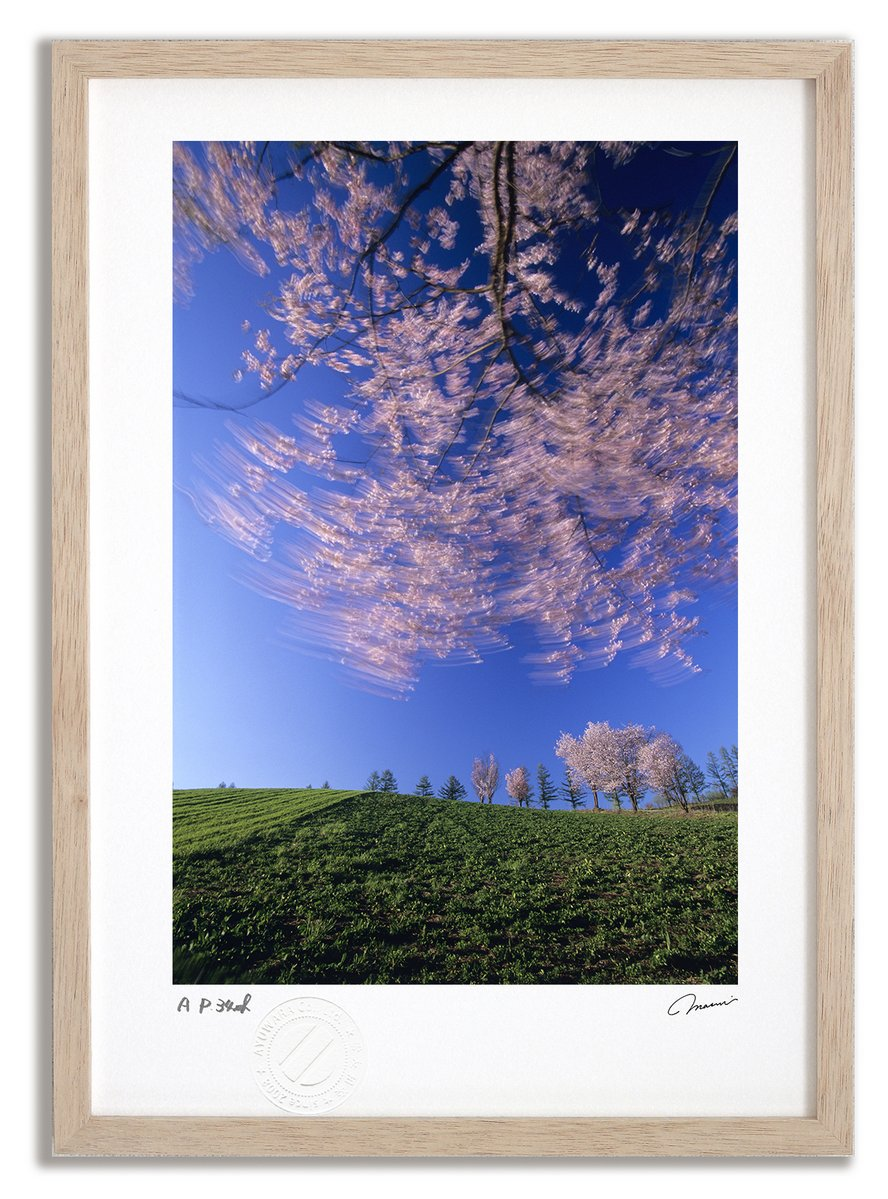 《アートフォト》丘の桜/美瑛町〔富良野・高橋真澄〕(レンタル対象)