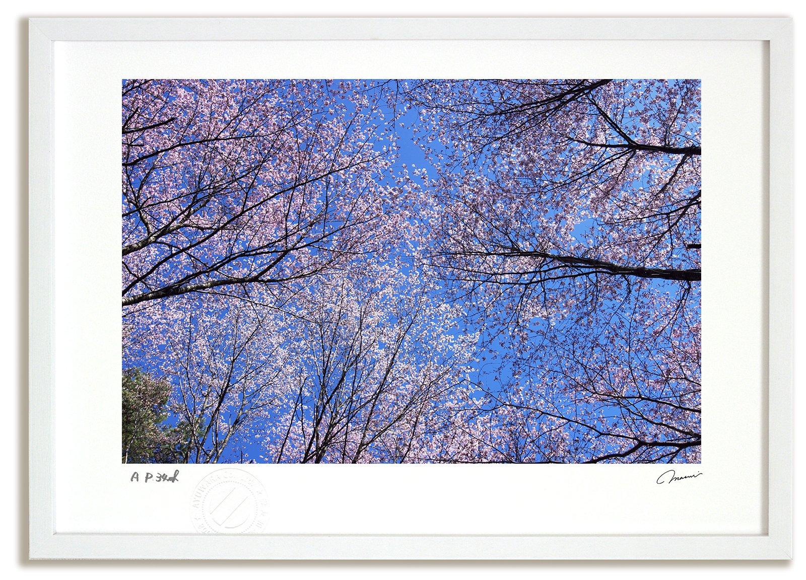《アートフォト》桜3/富良野市〔富良野・高橋真澄〕(レンタル対象)