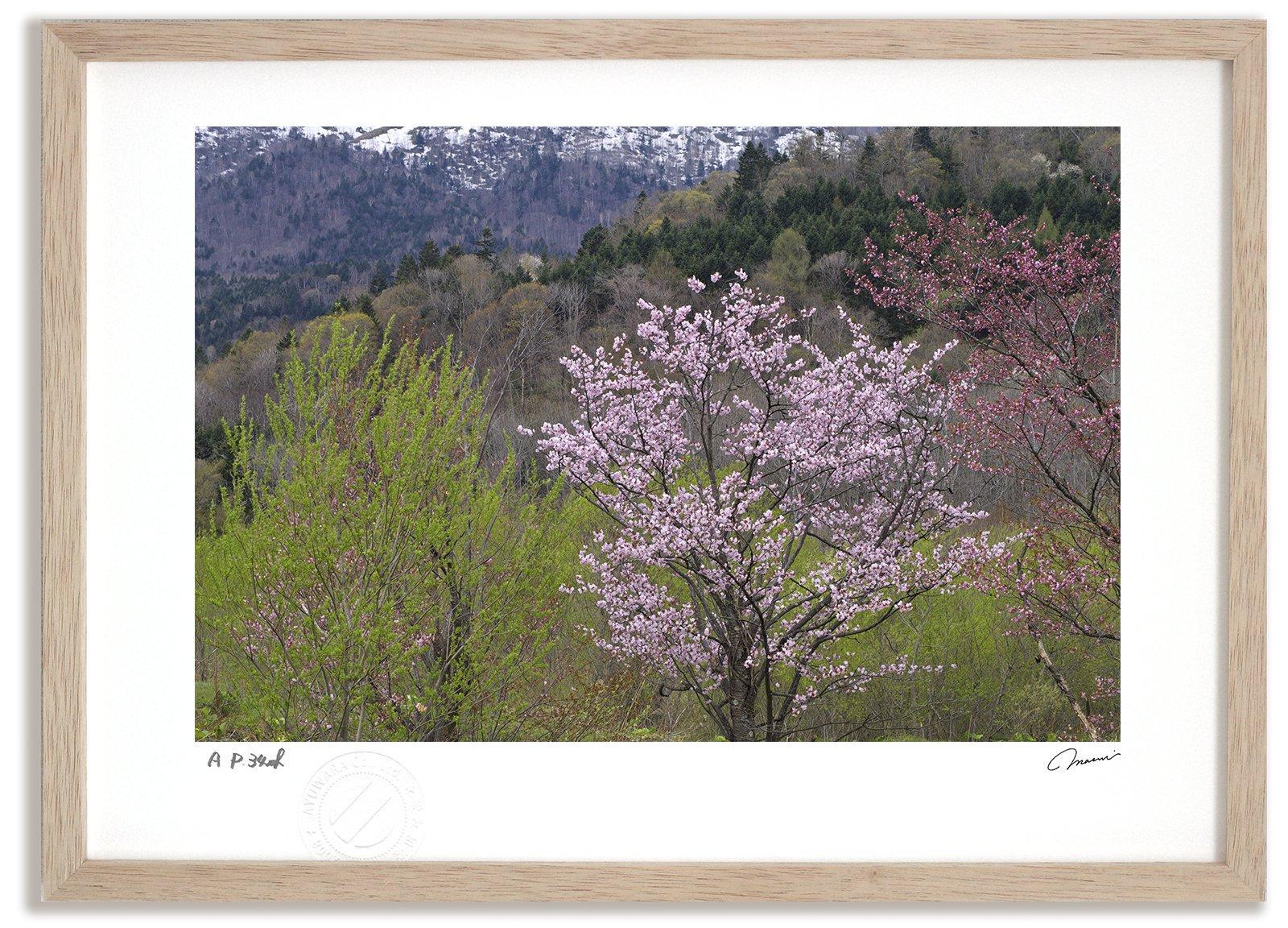 《アートフォト》エゾヤマザクラ/芦別市〔富良野・高橋真澄〕(レンタル対象)