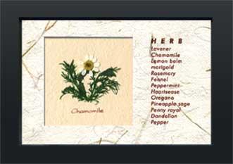 《ハーブコレクション・ミニ》Herbe Collection Mini Chamomile(カモミール)(ゆうパケット)
