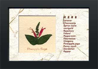 《ハーブコレクション・ミニ》Herbe Collection Mini Pineapplesage(パイナップルセージ)(ゆうパケット)
