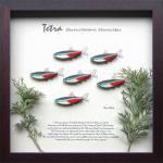 《テトラ・フレーム》Tetra Frame Neon Tetra(ネオン テトラ)