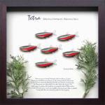 《テトラ・フレーム》Tetra Frame Cardinal Tetra(カーディナル(深紅) テトラ)