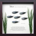 《テトラ・フレーム》Tetra Frame Black Neon Tetra(ブラックネオン テトラ)