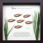 《テトラ・フレーム》Tetra Frame Glowlight Tetra(グローライト テトラ)