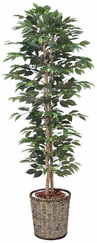 《光触媒観葉植物》ベンジャミンスリム1.8〔フロアタイプ(ハイサイズ)〕