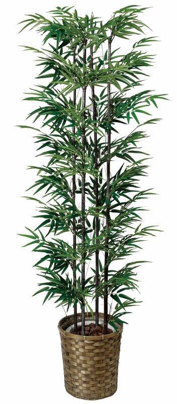 《光触媒観葉植物》黒竹1.6〔フロアタイプ(ハイサイズ)〕