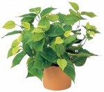 《光触媒観葉植物》ライムポトス〔テーブルタイプ〕ギフトで人気