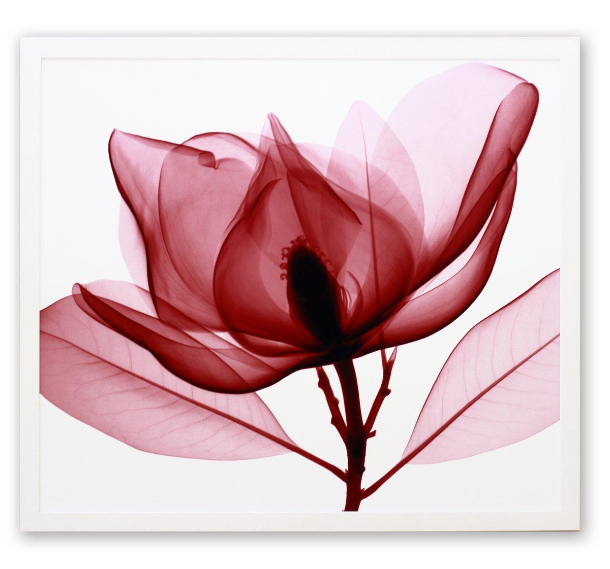 《レントゲン フォトフレーム》Steven N. Meyers Red Magnolia(レッド マグノリア)