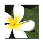 《アートフレーム》frangipani(フランジパニ)