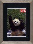 《アートフレーム》LIFE Giant Panda Lung-Ling(ライフ ジャイアント パンダ)(ゆうパケット)