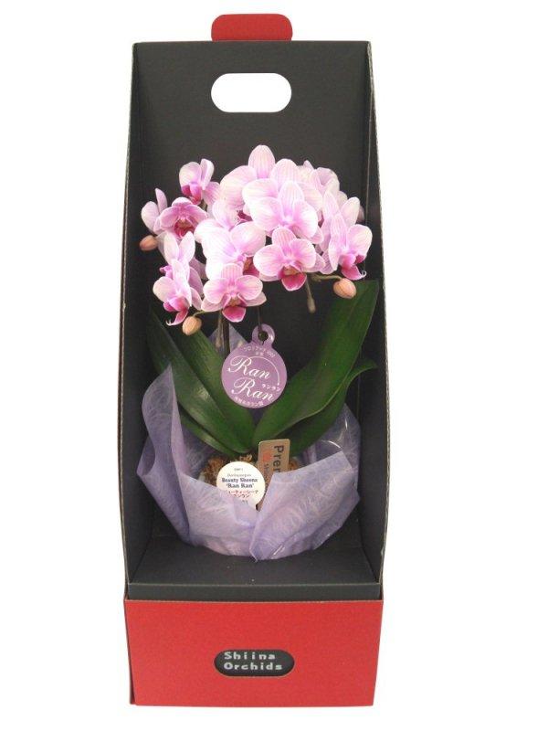 《胡蝶蘭》ピンク色胡蝶蘭 2本立ち  2ウエイテーブルボックス付き(こちょうらん)
