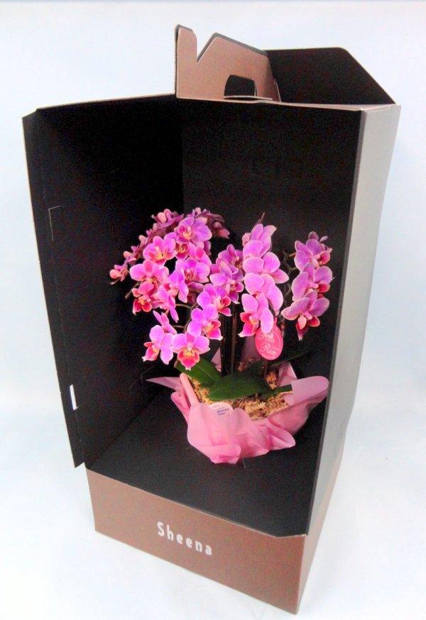 《胡蝶蘭》ピンク色胡蝶蘭 3本立ち  ドレスボックス付き(こちょうらん)