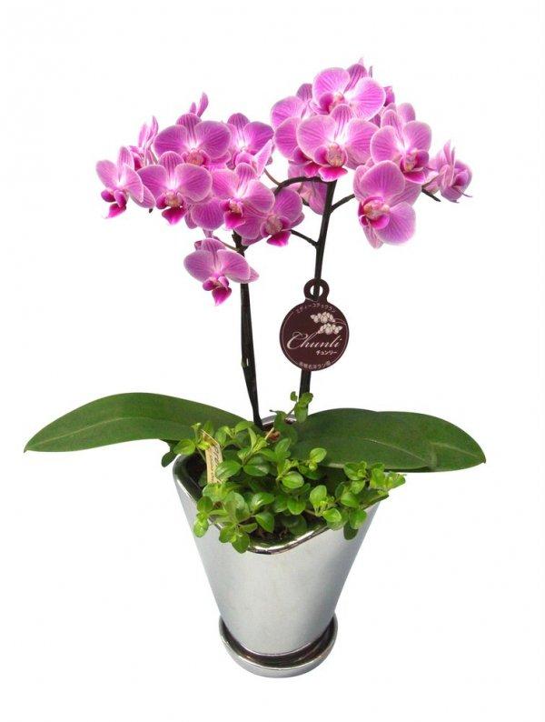 《胡蝶蘭》チュンリー、ペペロミア 2本立ち  シルバー鉢(こちょうらん)