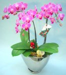 《胡蝶蘭》ピンク色胡蝶蘭 3本立ち  シルバー鉢(クリスマス仕様)(こちょうらん)