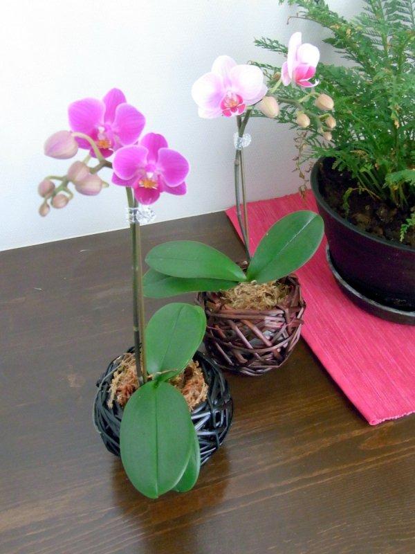 《胡蝶蘭》ピンク色胡蝶蘭 1本立ち  デコボコ鉢(こちょうらん)