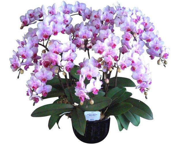 《胡蝶蘭》ピンク系品種 10本立ち  (こちょうらん)