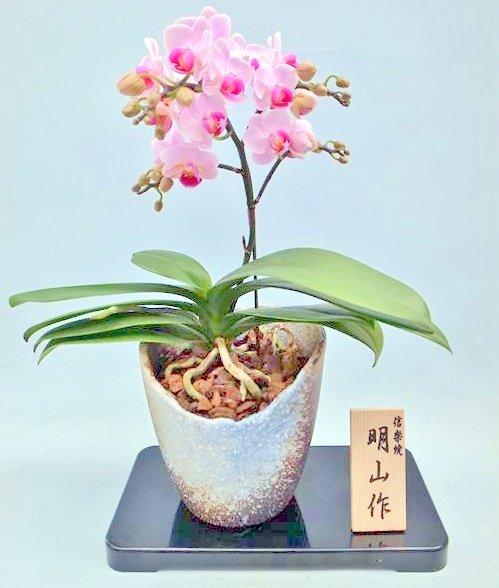 《胡蝶蘭》リンゴホワイト 1本立ち  信楽焼(こちょうらん)