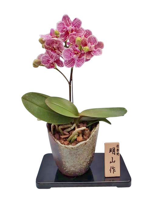 《胡蝶蘭》リトルゼブラ 1本立ち  信楽焼(こちょうらん)