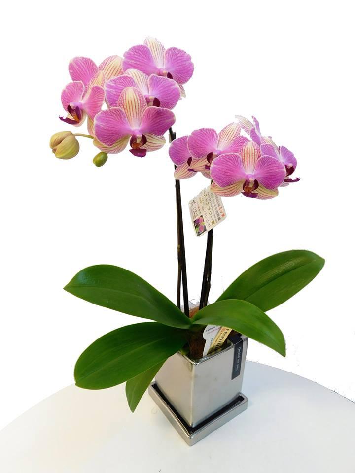 《胡蝶蘭》アンスラパレルモ 2本立ち  シルバー鉢(こちょうらん)