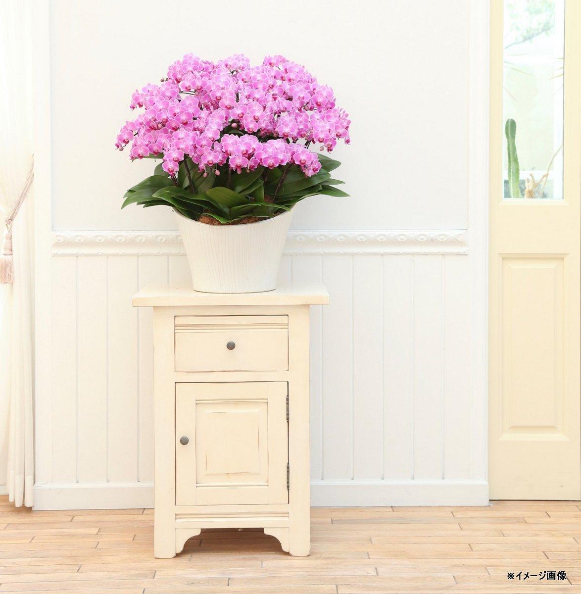 《胡蝶蘭》アンスラパレルモ 2本立ち  クローム鉢(こちょうらん)