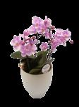 《胡蝶蘭》サクラン 3本立ち 白陶器鉢(こちょうらん)