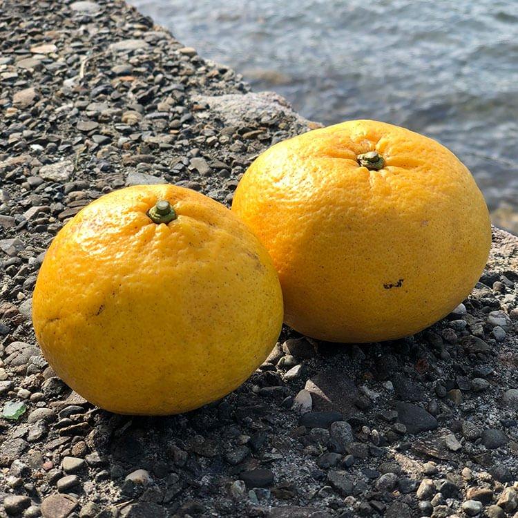 天草・産島の「うぶ柑(甘夏)」 1kg(自然栽培 )