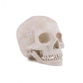 模写用頭蓋骨モデル
