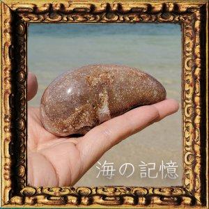 クジラ石9(耳石・インナーイヤー・化石)(ノースカロライナ産)