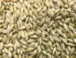 令和3年産 六条皮大麦「ファイバースノウ」 種子 1kg