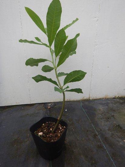 カシューナッツ 栽培