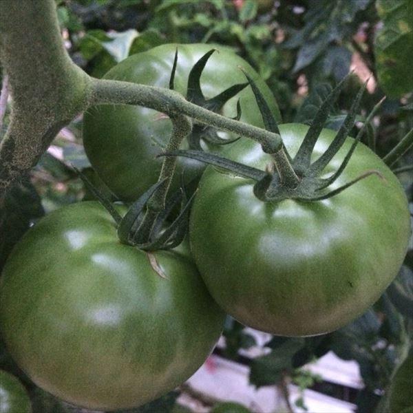 【未成熟の青トマト】桃太郎トマト 1kg...