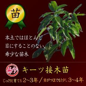 キーツマンゴー接木苗 ①2~3年 ②3~4年(送料別)
