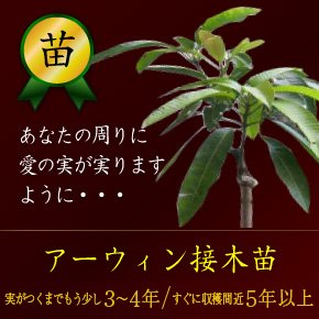 アーウィンマンゴー接木苗 ①2~3年 ②3~4年(送料別)