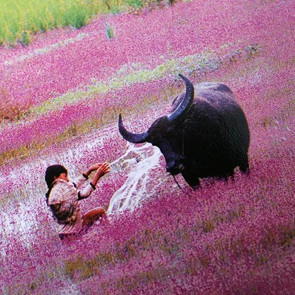ベトナム ポストカード(水牛と遊ぶ子供たち)【画像3】