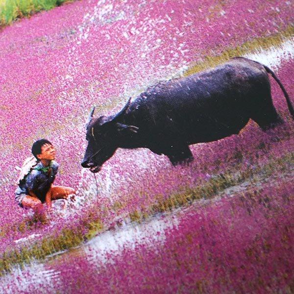 ベトナム ポストカード(水牛と遊ぶ子供たち)【画像4】