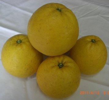 河内晩柑 家庭用 10kg