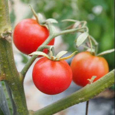 こだわりの栽培セット/ミニトマトレッド
