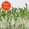 【訳アリ】【数量限定】パクチースプラウト有機種子/固定種 60g Mサイズの商品画像