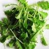 オークリーフレタス/オーキング 緑[ベビーリーフ]20ml/中袋【有機種子・固定種】