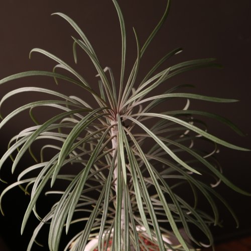 セネシオクレイニア モンキーツリーとも呼ばれています(現品)