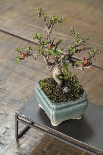 四季咲きが嬉しい! 長寿梅の小品盆栽化粧鉢仕立て