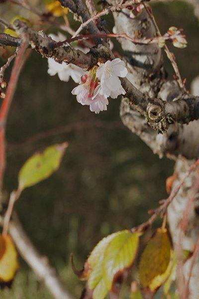 四季咲きの八重桜 開店祝いにもおすすめです!