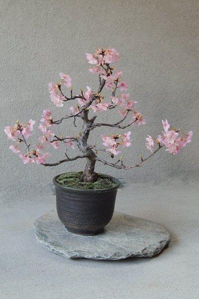 人気の桜をお手元で ~河津桜 化粧栽仕立て~