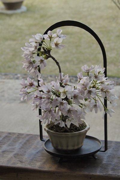 ソメイヨシノを愛でる ~桜盆栽 化粧栽仕立て~